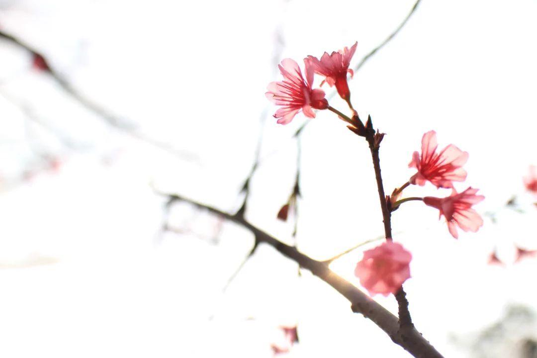 华南农业大学,钟花樱桃