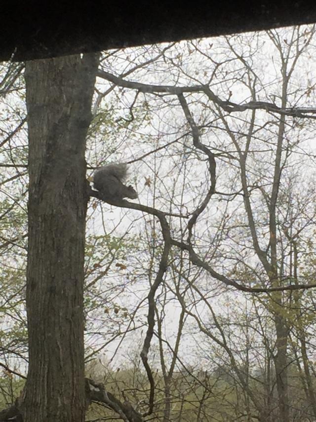 早上醒来忽然发现一只松鼠跳到眼前的树枝上( ̄▽ ̄)