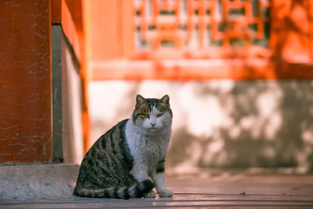 Imperial cat from the Forbidden City