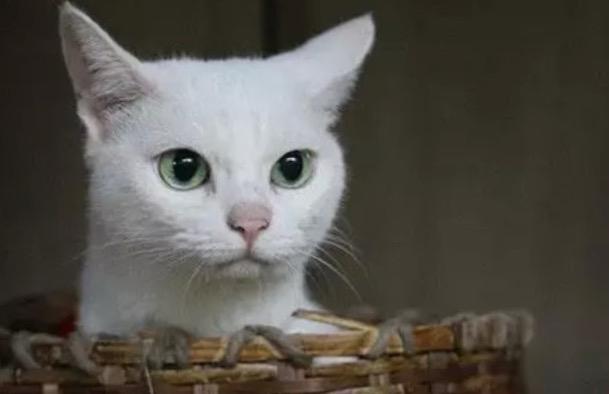 原来《猫侍》上面的玉之丞 是中华田园猫 眼睛怎么这样的呢