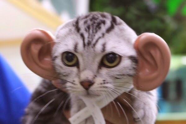 事实证明人装上喵耳很可爱,但是喵装上人耳却是魔性!(。・ω・。)