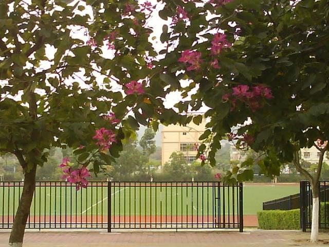 想念学校的紫荆花,周末和同学回去看看