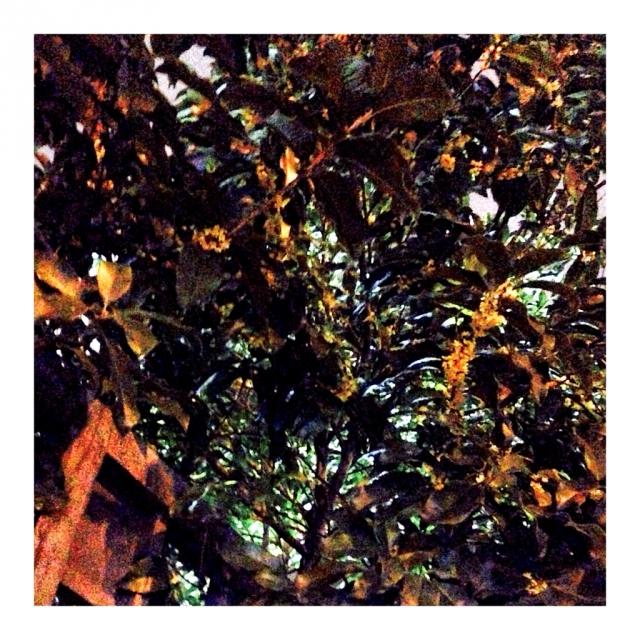 冷雨湿桂花。
