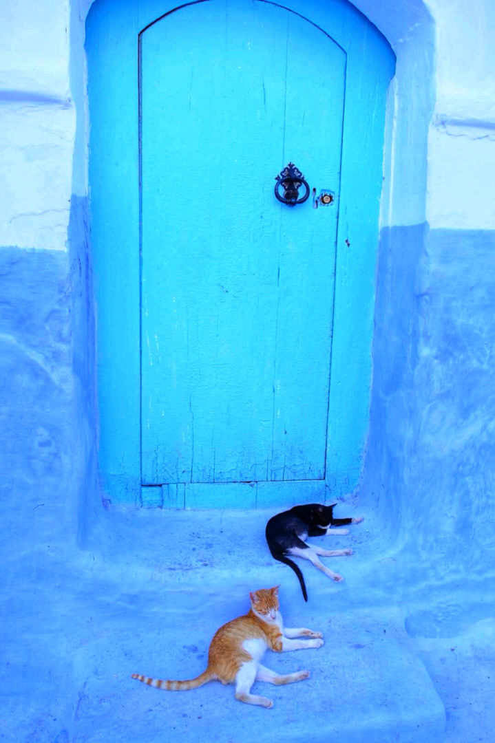 舍夫沙万的猫